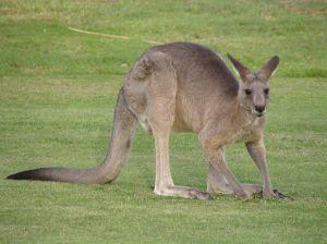 kangourou[1]